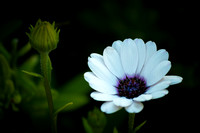 African Daisy, white